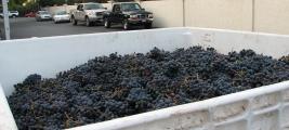 grapes-callecielovineyard-shawnkummer-harvest-2006-cooperjameswine