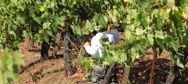 guess-who-cooper-kummer-makes-sure-grapes-are-ready-to-pick