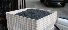the-crush-our-grapes-from-callecielovineyard-in-the-bin