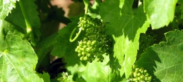 calle-cielo-vineyard-grapes-early-growth