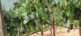 calle-cielo-vineyards-grapes-are-plump