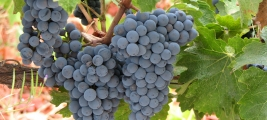 calle-cielo-vineyards-grapes-are-ready
