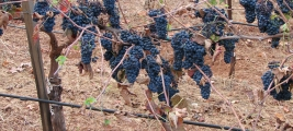 calle-cielo-vineyards-last-grapes-to-be-picked
