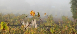 calle-cielo-vineyards-our-vineyard-foggy-early-morning-leaves-two