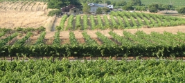 calle-cielo-vineyards-vines-early-summer