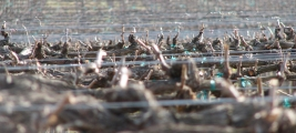 calle-cielo-vineyards-vines-pruned